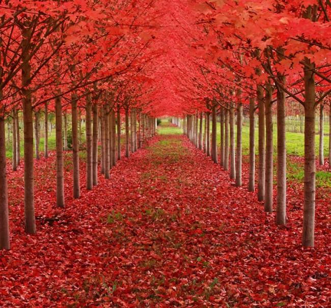 bellos-arboles-de-hojas-rojas